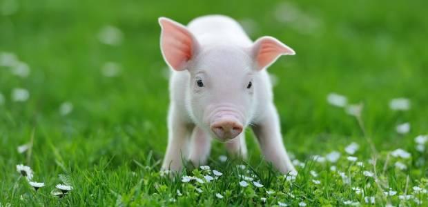 Świnka miniaturka - zalety, czy nadaje się dla dziecka, cena