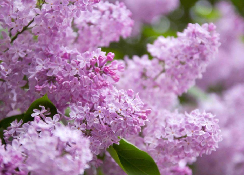 alergie krzyżowe, alergia na pyłek bzu, uczulenie na bez, alergeny krzyżowe, alergia na pyłki, alergia u dziecka