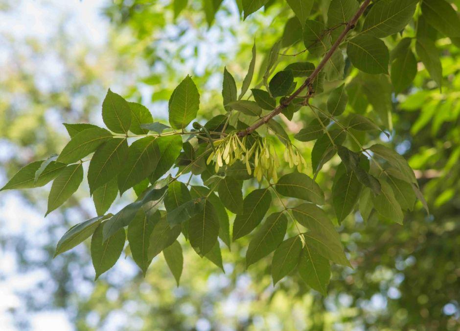 alergie krzyżowe, alergia na pyłek jesionu, uczulenie na jesion, alergeny krzyżowe, alergia na pyłki, alergia u dziecka