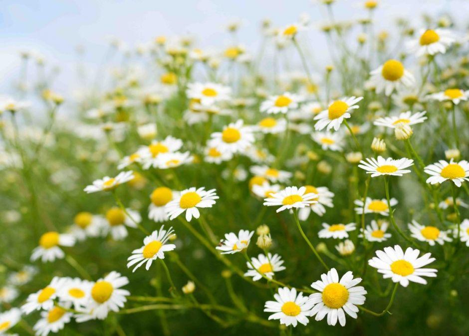 alergie krzyżowe, alergia na pyłek rumianku, uczulenie na rumianek, alergeny krzyżowe, alergia na pyłki, alergia u dziecka