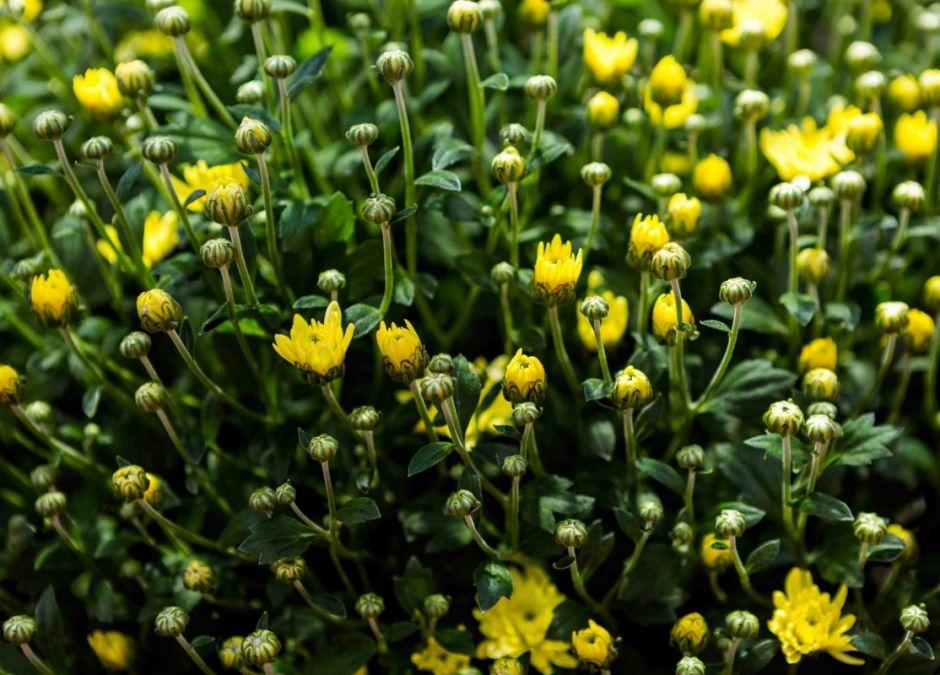 alergie krzyżowe, alergia na pyłek złocienia, uczulenie na złocień, alergeny krzyżowe, alergia na pyłki, alergia u dziecka