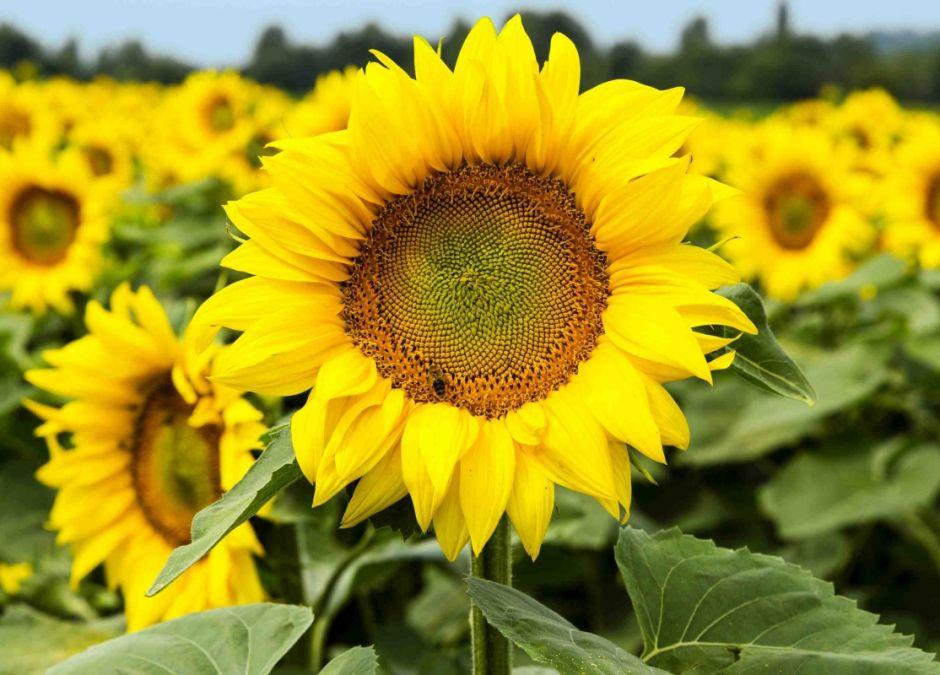 alergie krzyżowe, alergia na słonecznik, uczulenie na ziarna słonecznika, alergeny krzyżowe, alergia na pyłki, alergia u dziecka