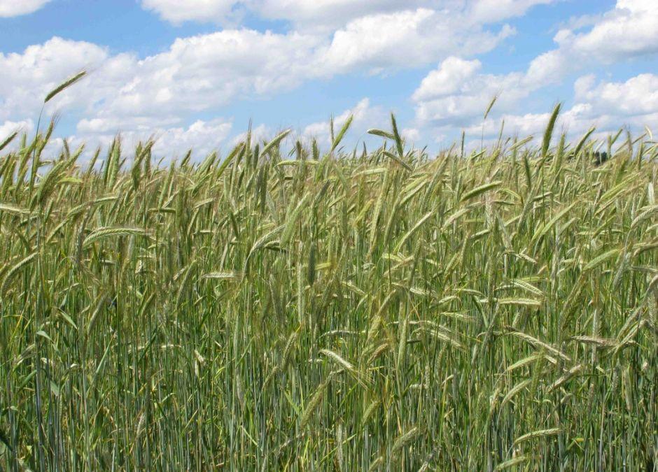 Alergie krzyżowe, alergia na trawy i zboża, uczulenie na trawy/zboża, alergeny krzyżowe, alergia na pyłki, alergia u dziecka