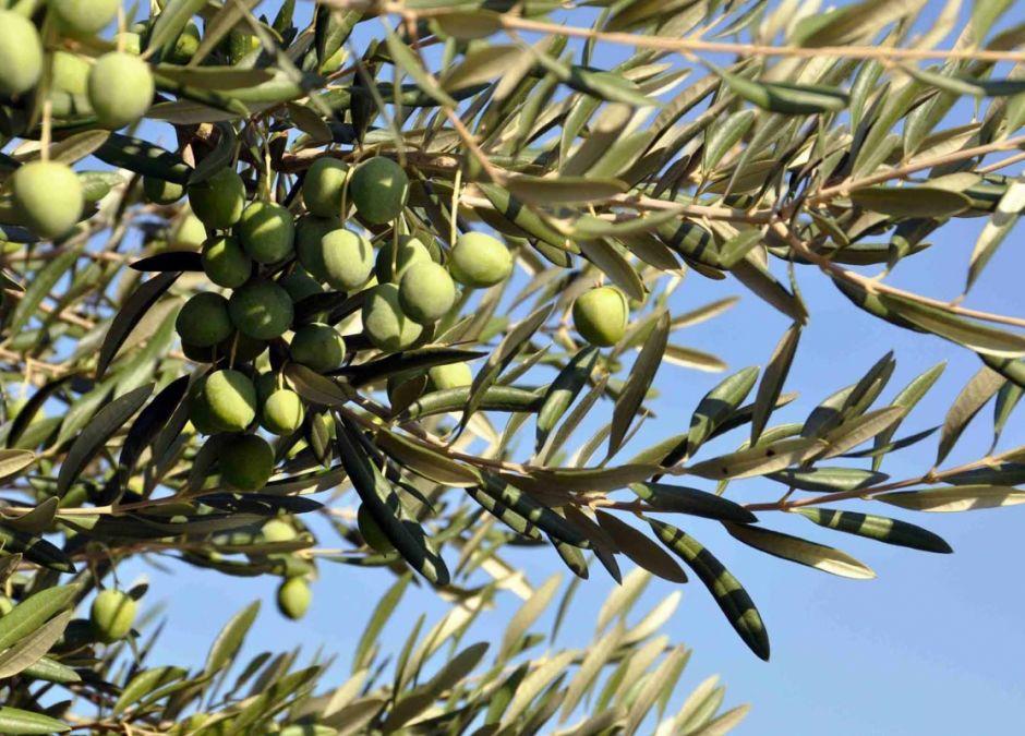alergie krzyżowe, drzewo oliwne, alergia na oliwki, uczulenie na drzewo oliwne, alergeny krzyżowe, alergia na pyłki, alergia u dziecka