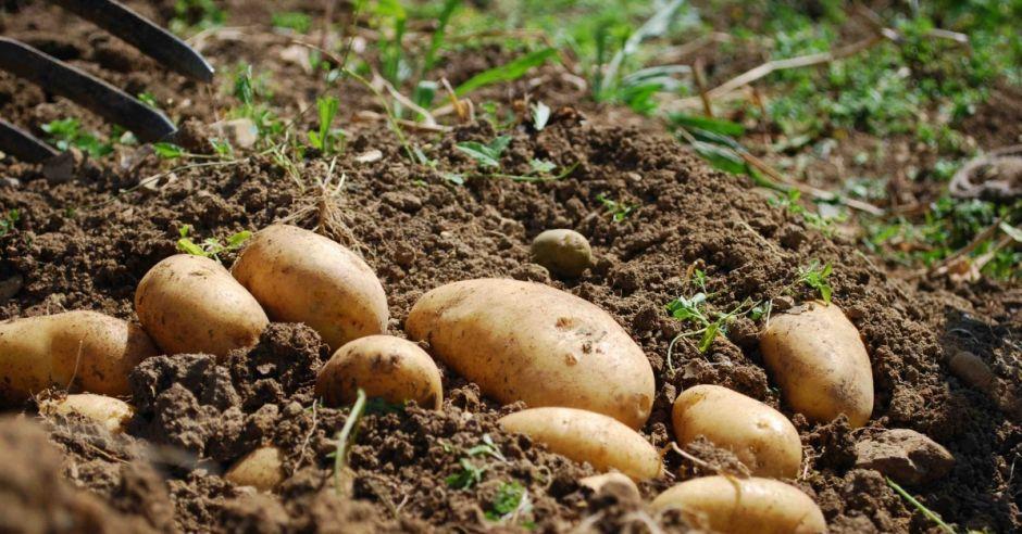 alergie krzyżowe, ogórki, alergia na ziemniaki, uczulenie na ziemniaki, alergeny krzyżowe, alergia pokarmowa, alergia u dziecka