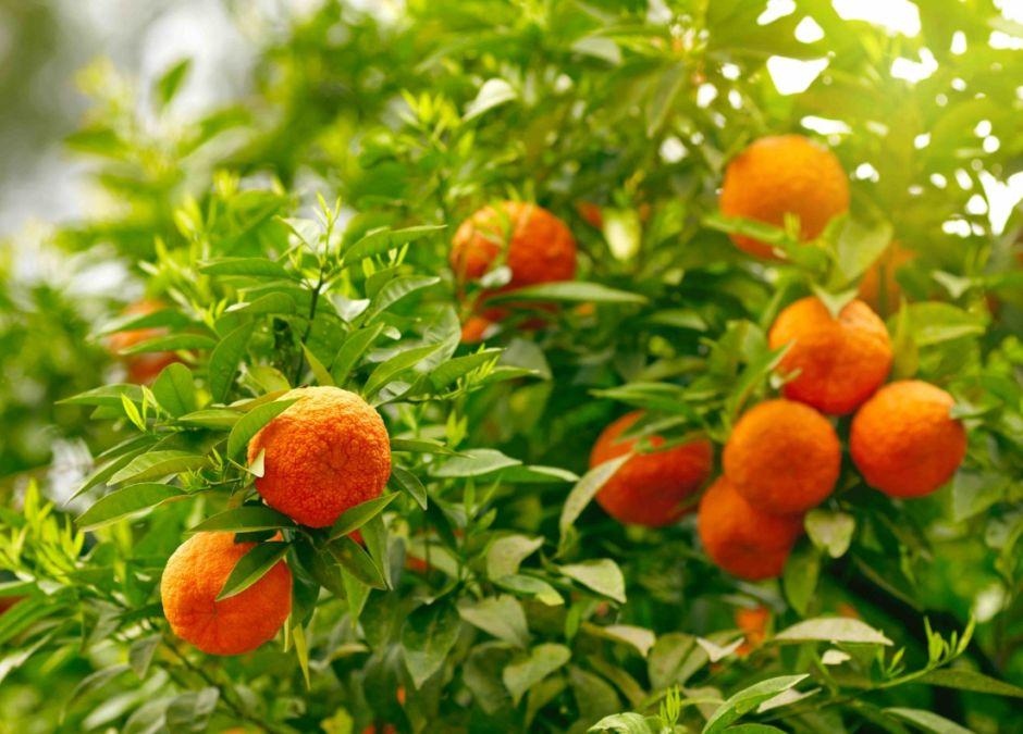 alergie krzyżowe, pomarańcze, alergia na pomarańcze, uczulenie na owoce, alergeny krzyżowe, alergia pokarmowa, alergia u dziecka
