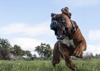 Atak psa, atakujący pies
