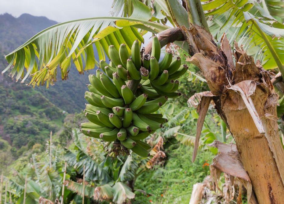 Banany, zielone banany, bananowiec