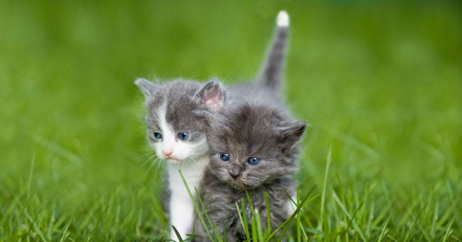 ciąża, kot, zagrożenia w ciąży, toksoplazmoza, toksoplazmoza w ciąży