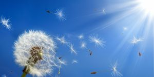 Dmuchawiec, alergia, słońce, pylenie, pyłki
