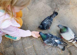 Dziecko karmi gołębie