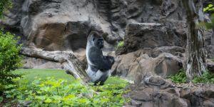 Goryl w zoo wciągnął do zagrody 4-latka