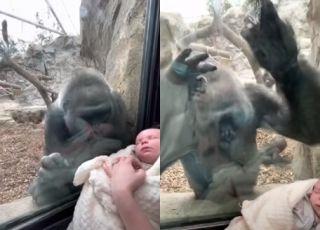 Goryl zauroczony niemowlakiem