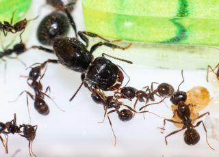 hodowla mrówek