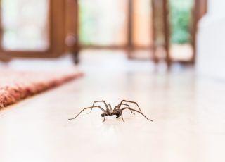 Jak zwalczyć pająki w domu?