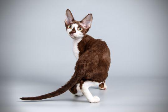 koty dla alergików cornish rex