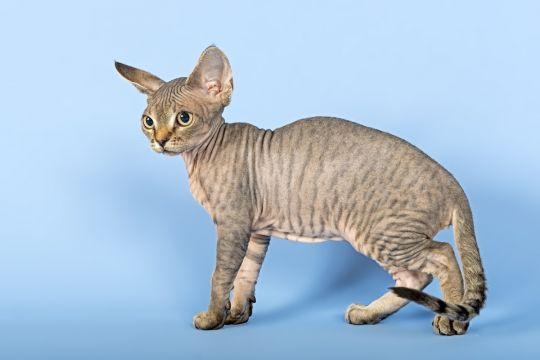 koty dla alergików devon rex