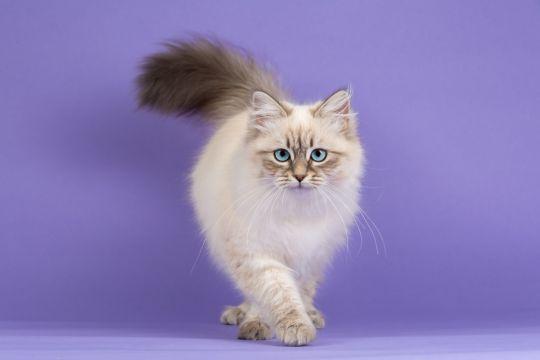 koty dla alergików kot syberyjski