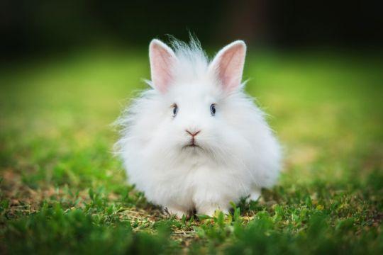 królik minaiturka - angora