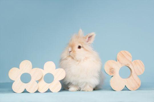 królik miniaturka teddy