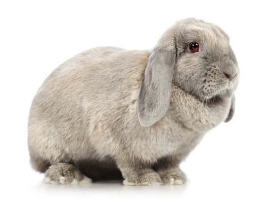 królik miniaturka baranek