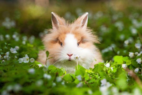 królik miniaturka lew