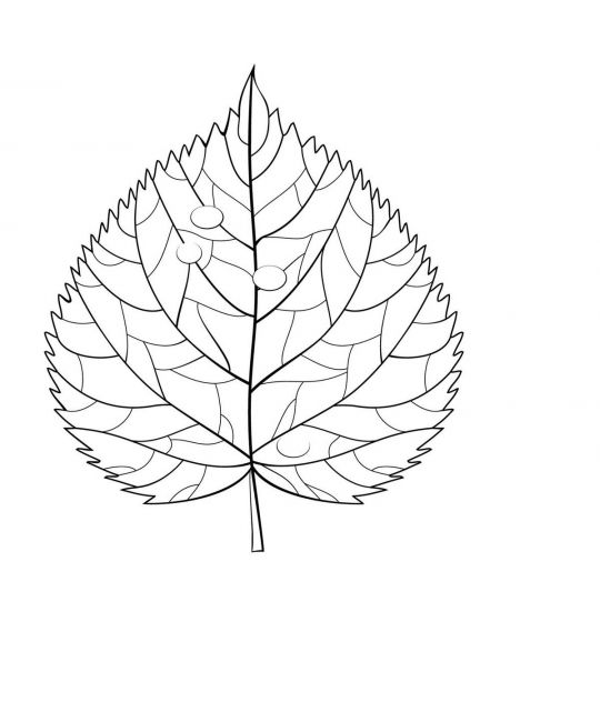liście do druku: lipa