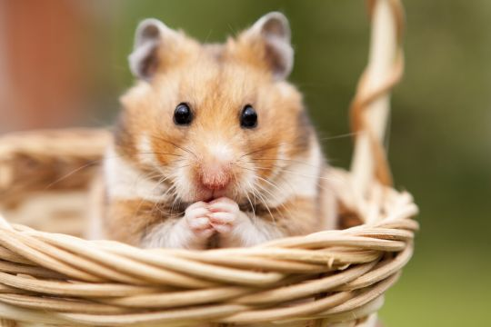 małe zwierzęta domowe - chomik