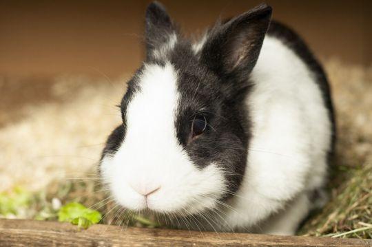 małe zwierzęta domowe - królik miniaturka