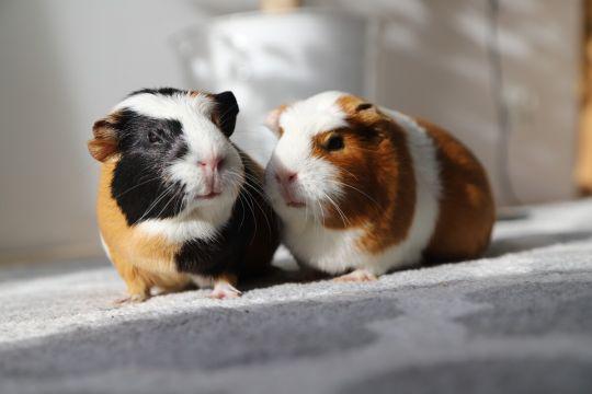 małe zwierzęta domowe - świnka morska