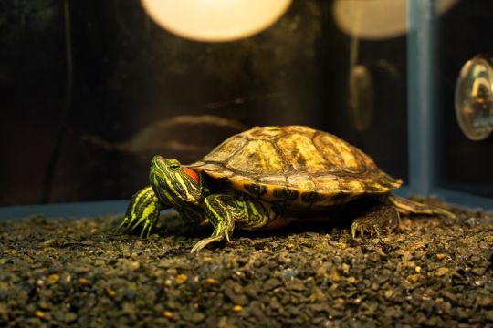 małe zwierzęta domowe - żółw