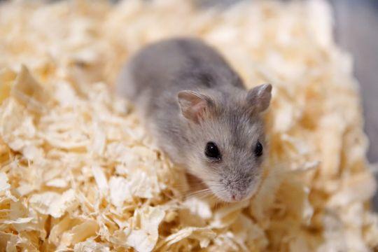 małe zwierzęta domowe - myszka