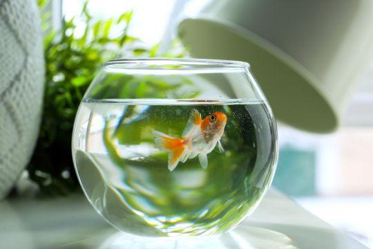 małe zwierzęta domowe - rybka