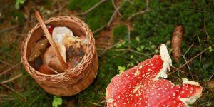 muchomor sromotnikowy i grzyby jadalne.jpg