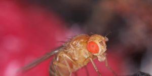 muszka owocowa może roznosić choroby
