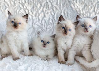 Najpopularniejsze rasy kotów domowych [WIDEO]