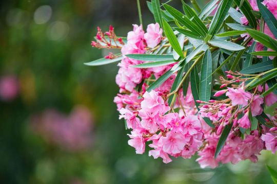 trujący oleander