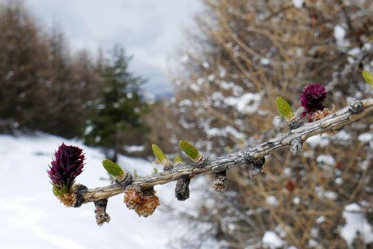 oznaki wiosny modrzewie