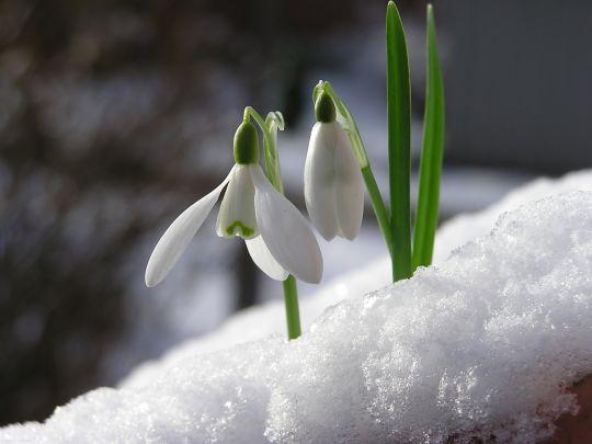 oznaki wiosny przebiśniegi