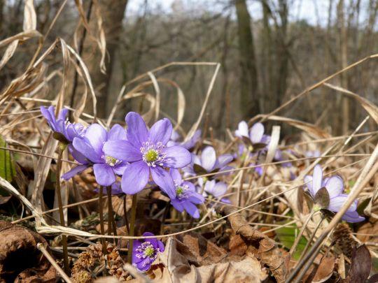 oznaki wiosny przylaszczka