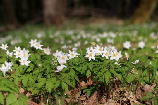 oznaki wiosny zawilce
