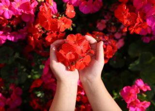 pelargonia afrykańska, pelargonia, kwiaty, ręce dziecka