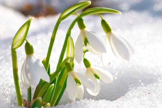 wiosenne kwiaty przebiśniegi
