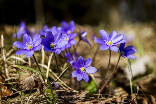 pierwsze wiosenne kwiaty przylaszczka