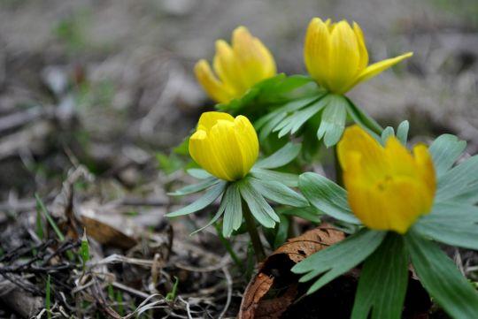 pierwsze wiosenne kwiaty rannik