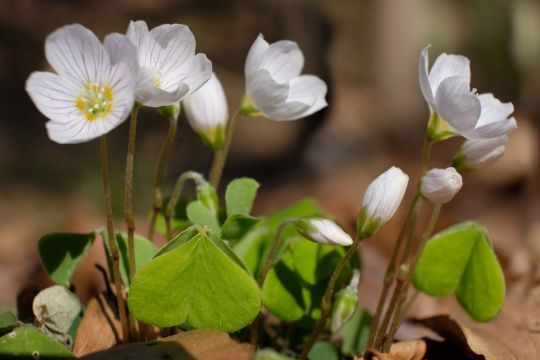 wiosenne kwiaty szczawik zajęczy