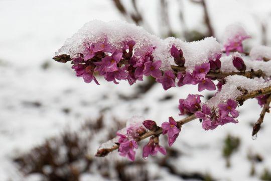 pierwsze wiosenne kwiaty wawrzynek wilczydełko