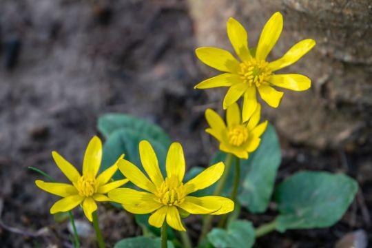 wiosenne kwiaty ziarnopłon wiosenny