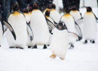 pingwiny chodzą po śliskim