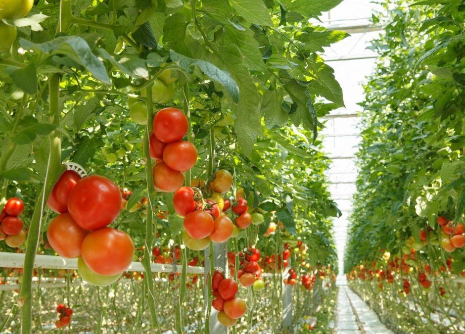 Pomidory, plantacja pomidorów, pomidor